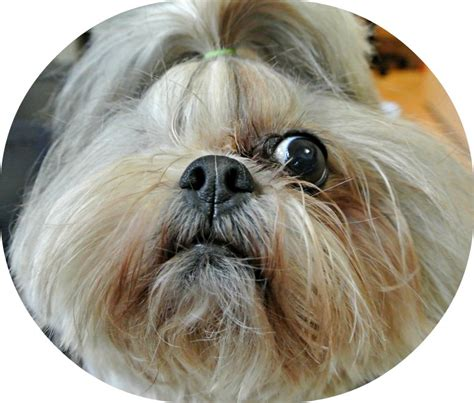 Hypoallergenic Non Shedding Dog Breeds by Brachycephalic Syndrome In Small Dogs