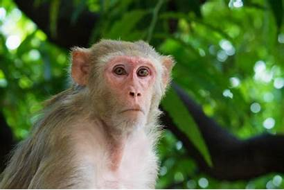 Peta Monkey