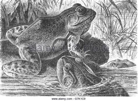 Bullfrog Illustration Stock Photos & Bullfrog Illustration