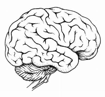 Human Coloring Organs Pages Brain Printable Worksheet