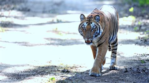 tiger corbett reserve bhim sauntering clicked handsome afternoon lucky him range vehicle male file newszii commons prev
