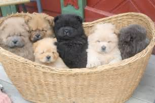 Baby Chow Chow