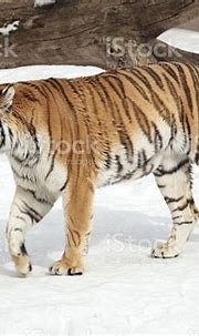 Siberian Tiger In Moscow Zoo Stock Photo - Download Image ...