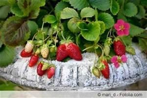 Erdbeeren Richtig Pflanzen : wann erdbeeren pflanzen awesome wann erdbeeren auf dem ~ Lizthompson.info Haus und Dekorationen