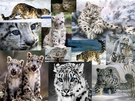 snow leopard collage photography abstract