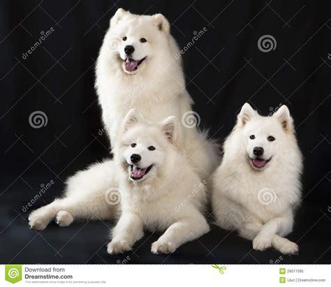samoyed dog royalty  stock photo image