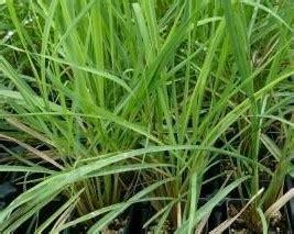citronella plants for sale citronella grass