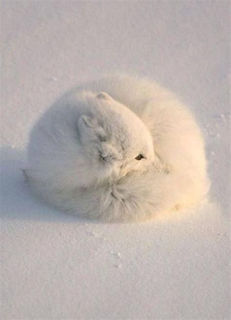 fluffy  cute animals   world arctic