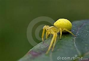 Weiße Spinne Deutschland : gelbe spinne in der natur lizenzfreies stockfoto bild 12696405 ~ Orissabook.com Haus und Dekorationen
