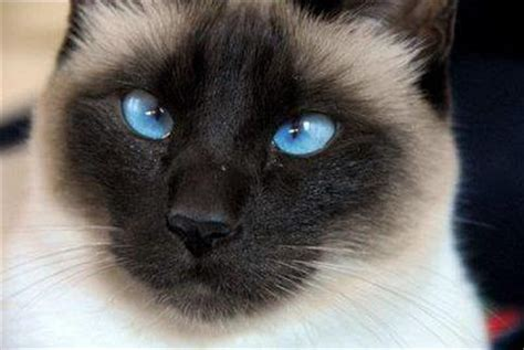 Siamese Cats, Crosseyed  An Informative Page