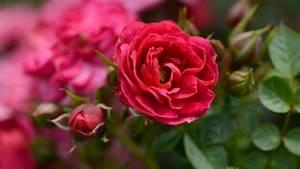 Rosen Schneiden Frühling : rosen schneiden im sommer diese tipps sollten sie beachten ~ Watch28wear.com Haus und Dekorationen