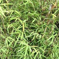 bambou non traçant pour haie fargesia robusta bambou cespiteux non tra 231 ant pour haie