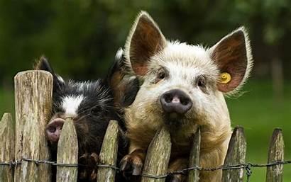 Pig Desktop Backgrounds Pigs Animal Computer Wallpapers