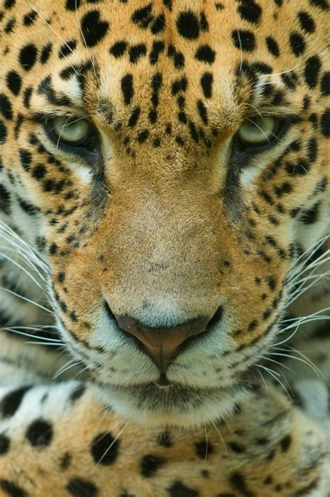 amazing jaguar s what amazing animals our planet has the name jaguar is