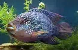 All About Aquarium Fish Jack Dempsey Cichlids Care Info