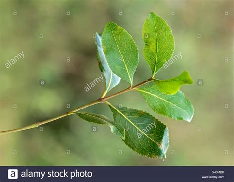 Catha Edulis Stock Photos & Catha Edulis Stock Images Alamy