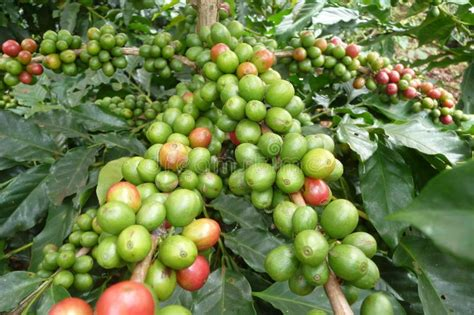 Coffee Plants In Dalat, Vietnam Royalty Free Stock Image Black And Decker Easy 8 Cup Coffee Maker Canadian Tire Ani Barach Kahi Flute Ringtone Marathi Movie Shayari Restaurant To Go In Venice Italy & Spacemaker Glass Carafe How Much Use