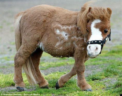 horse dwarf horses very strange unique koda smallest dwarfism mini plush often miniature toy take funny pony ponies there even