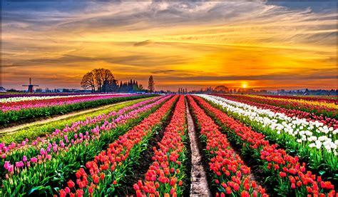 tulip field sunset  retina ultra hd wallpaper