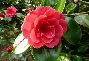Camellia Japonica Winterhart : camellia japonica great eastern plants oak leaf gardening ~ Eleganceandgraceweddings.com Haus und Dekorationen