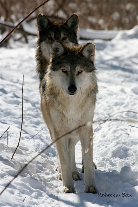 essay on gray wolves - Thesis Wolf