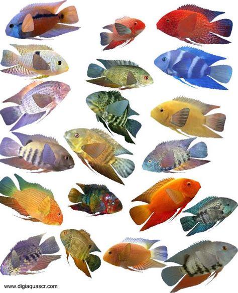severum fish species gold severum green severum black