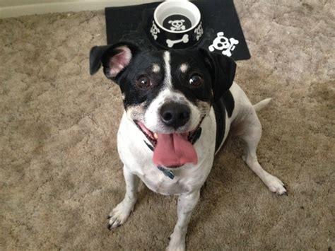 Rat Terrier Mix Shedding by Raggle Rat Terrier X Beagle Mix Info Temperament