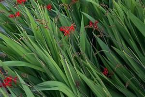 Hochwachsende Stauden Winterhart : monbretie lucifer crocosmia crocosmiiflora lucifer ~ Michelbontemps.com Haus und Dekorationen