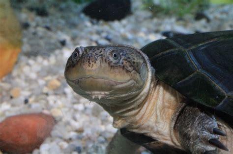 caro tortue pelomedusa subrufa