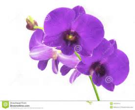 purple orchids stock images image 12875414