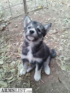 ARMSLIST - For Sale: husky/wolf mix puppies!