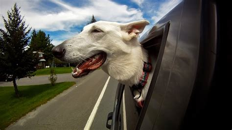 dogs  cars youtube