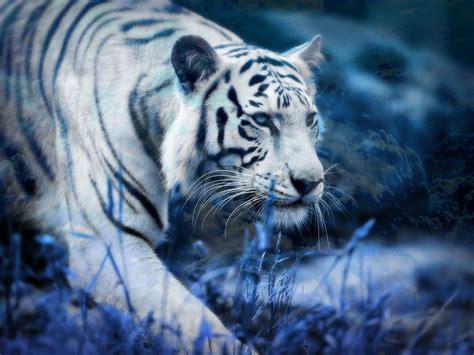 weißer tiger kostüm white tiger wallpapers hd 65 background pictures