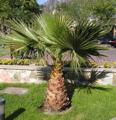 mexican fan palm care palm tree seeds in retail packs from around the world