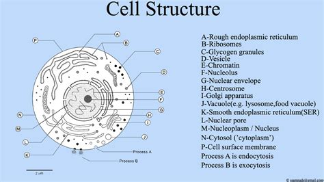Diagram Part Of A Cell file cell structure cell diagram png wikimedia commons