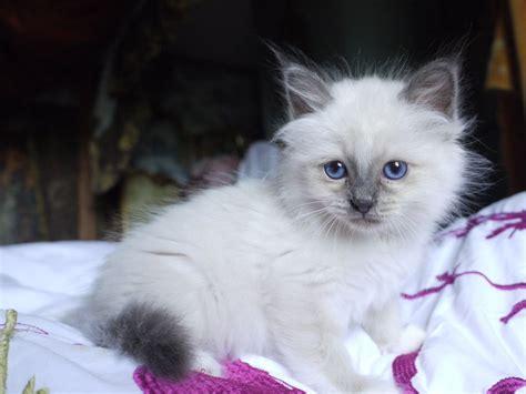 kitten for sale beautiful birman kittens for sale helston cornwall