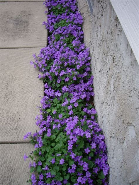 zone 10 shade plants purple flowering groundcover canula portenschlagiana a plant that grows in less than