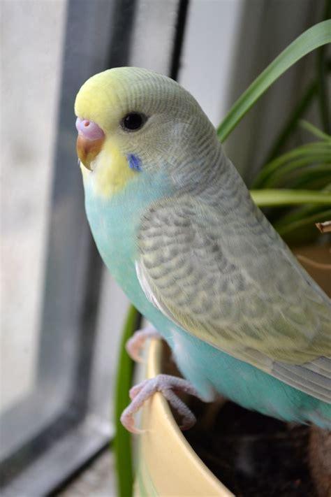 best 25 budgies ideas on pinterest parakeet parakeets