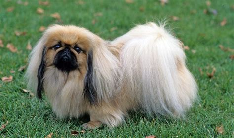 pekingese breed information