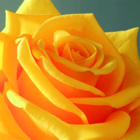 De Ruiter Yellow Roses - Livening up Easter and Spring Season