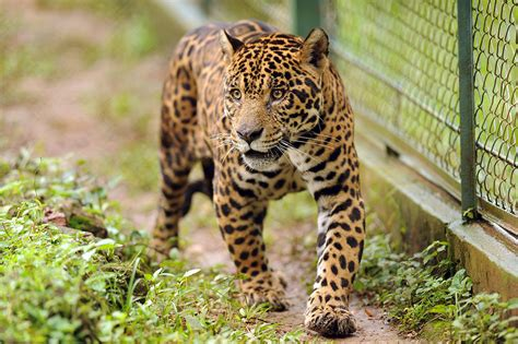 I Nominate Juma The Jaguar To Be This Sub's Official