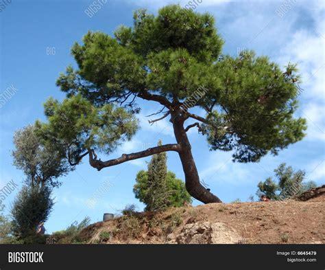 mediterranean trees green mediterranean tree image photo bigstock
