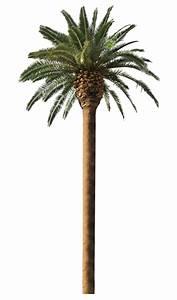 Palm Trees for Sale Melbourne   Palm Tree Sales   Palm ...