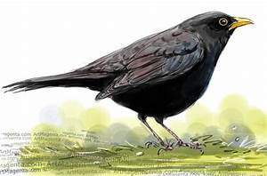 Birds: Eurasian Blackbird