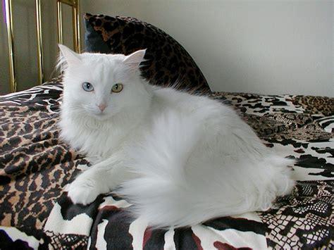 harga kucing anggora turki hewanid