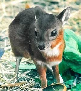 A baby Chinese water deer | Hairstyles | Pinterest