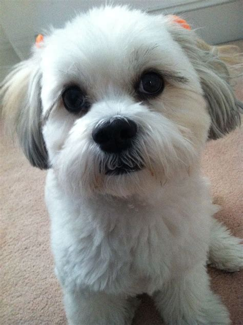 zuchon shihtzu bichon cross images  pinterest