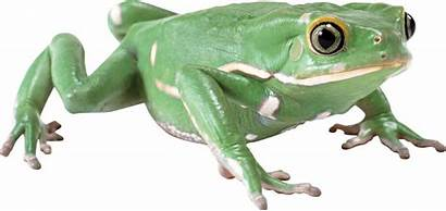 Frog Transparent Frogs Purepng Ranas Animaux Tubes