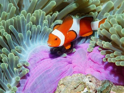 HD wallpapers iphone clown fish wallpaper download