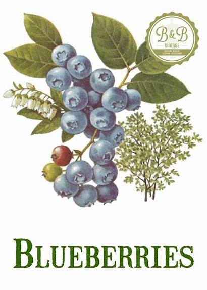 Blueberry Blueberries Plant Fruit Drawing Prints Clipart